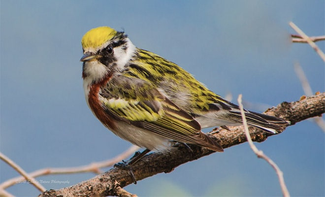 How & Where to Photograph Songbirds