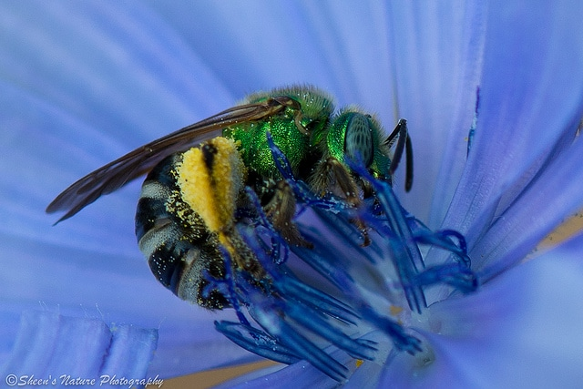 Green Sweat Bee by Sheen Watkins