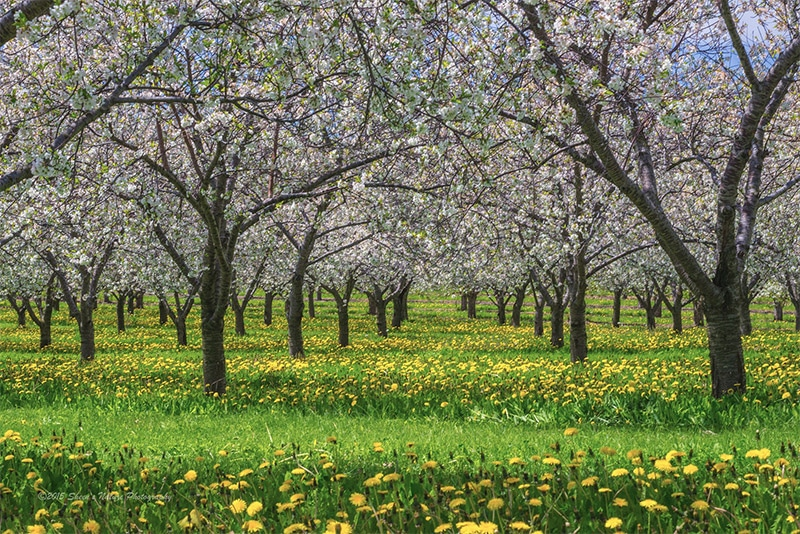 Cherry Pick Your Subjects – A Day in the Orchards