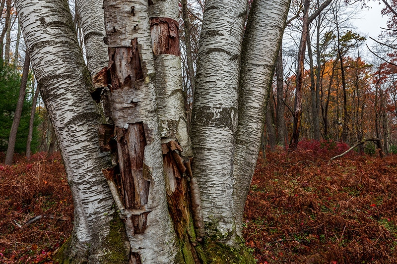 Photographing The White Birch Trees of the Marion Brooks Natural Area (Pennsylvania)