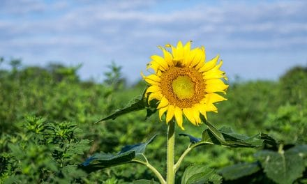 Photographing Sunflowers (and More) at McKee-Beshers Wildlife Management Area (Maryland)