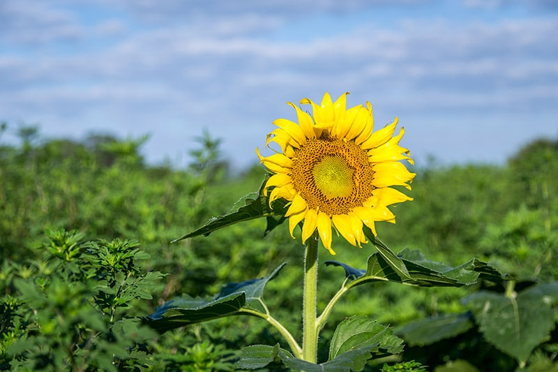 Photographing Sunflowers at McKee-Beshers Wildlife Management Area