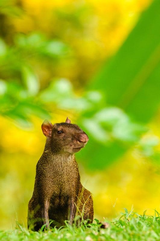 Central American Agouti [Dasyprocta punctata] foraging; Gamboa, Panama