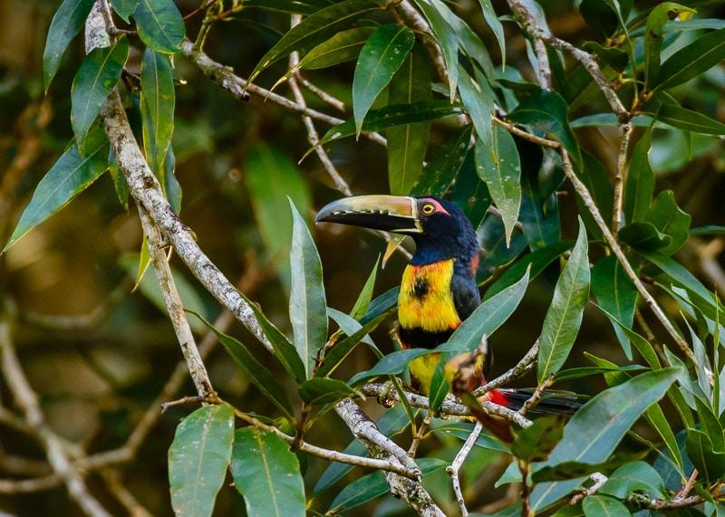 Collared Aracari [Pteroglossus torquatus]; Santa Fe, Panama