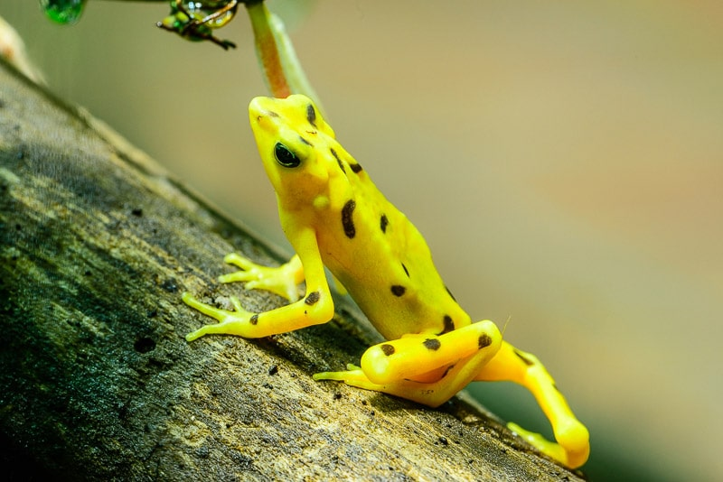 Panamanian Golden Frog [Atelopus zeteki], critically endangered frog; , reproductive facility; El Valle Amphibian Conservation Center, El Valle, Panama