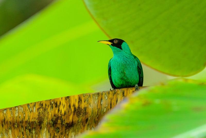 Green Honeycreeper [Chlorophanes spiza] male; Gamboa, Panama