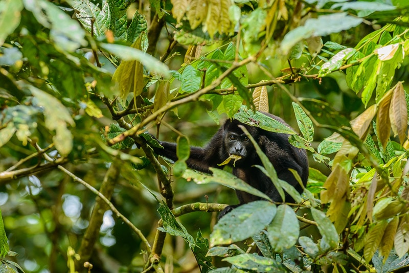 Mantled Howler Monkey [Allouata palliata] adult browsing canopy; Soberania National Park, Panama