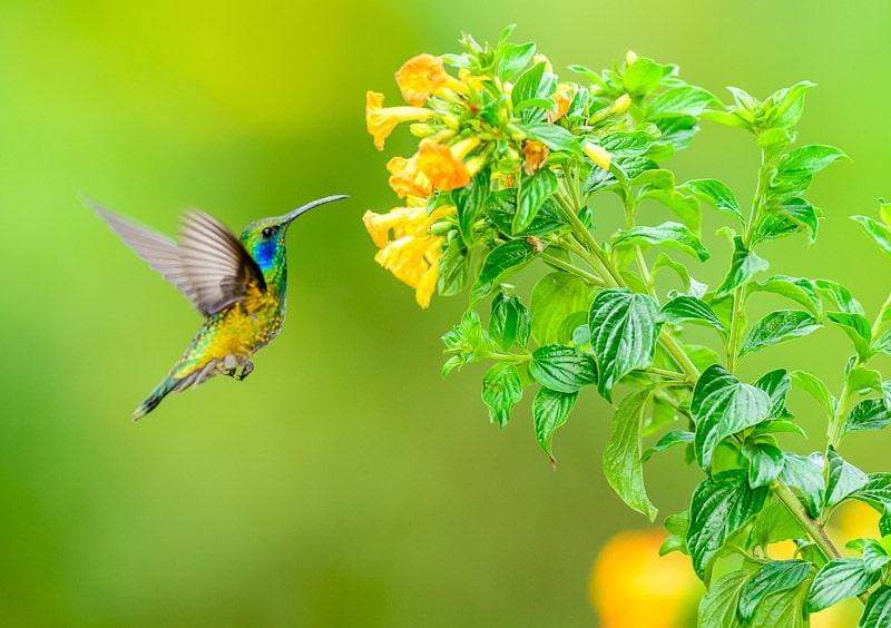 Green Violet-ear Hummingbird [Colibri thalassinus] nectaring; Bajo Grande, Cerro Punta, Panama