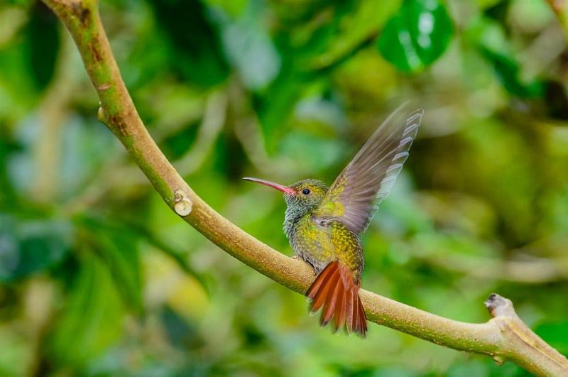 Rufous-tailed Hummingbird [Amazillia tzacatl]; Nueva Suiza, Panama